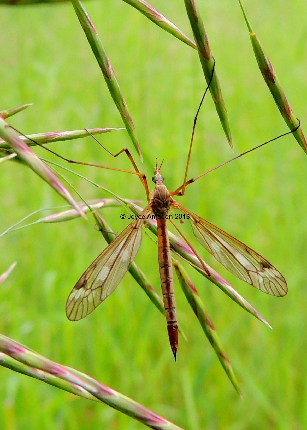 Crtanefly