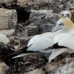 Gannets Snuggling