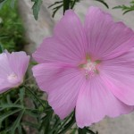 Mallow Blossom