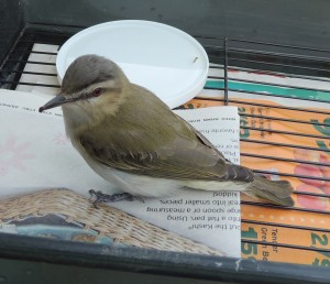 Red Eyed Vireo 5